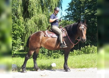 Other Breeds, Mare, 5 years, 15.3 hh, Brown