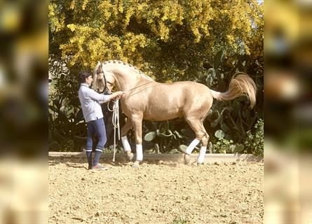Andaluces, Yegua, 8 años, 167 cm, Palomino