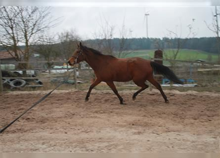 German Sport Horse, Mare, 9 years, 16.3 hh, Brown