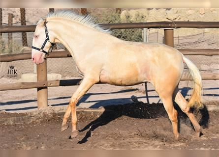 Andalusier Mix, Hengst, 2 Jahre, 158 cm, Perlino