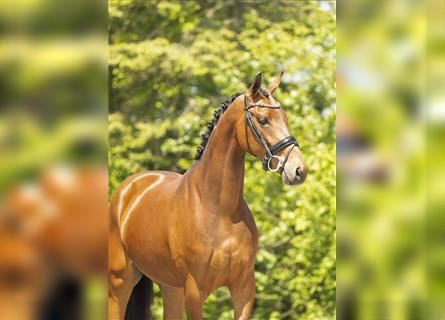 KWPN, Mare, 3 years, 16.1 hh, Brown