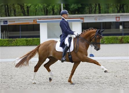 KWPN, Mare, 9 years, 16.1 hh, Chestnut