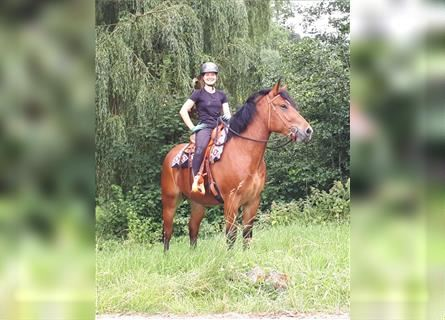 Other Breeds, Mare, 3 years, 15.2 hh, Brown
