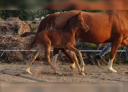 Hanoverian, Mare, Foal (03/2021), 16.1 hh, Brown