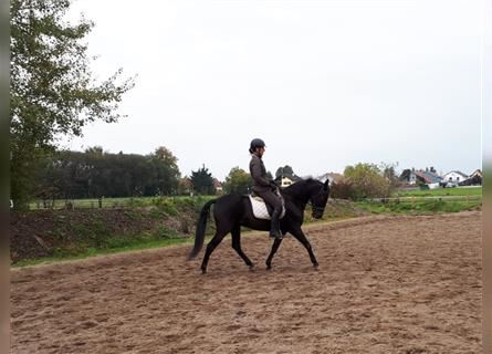 Andalusier Mix, Wallach, 11 Jahre, 156 cm, Rappe