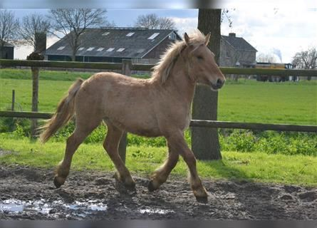 Other Breeds, Stallion, 1 year, 13.1 hh, Champagne