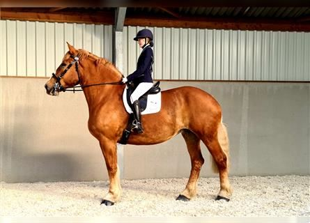 Belgian Draft, Mare, 15 years, 18.1 hh, Chestnut-Red
