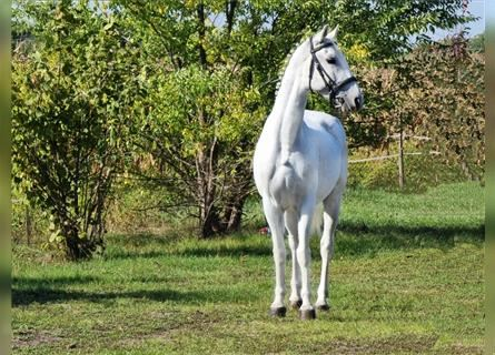 Hungarian Sport Horse, Mare, 10 years, 15.2 hh, White