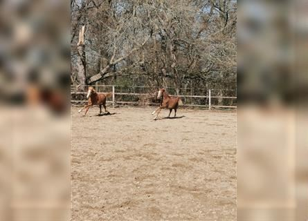 German Riding Pony, Mare, 1 year, 14.2 hh, Chestnut