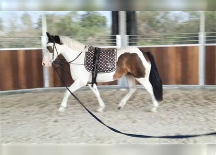 More ponies/small horses, Mare, 8 years, 14 hh, Pinto
