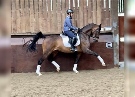 KWPN, Mare, 6 years, 16.1 hh, Bay