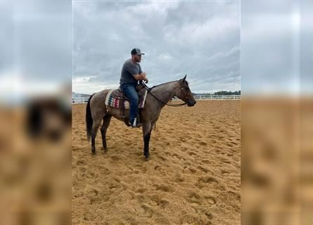 American Quarter Horse, Mare, 6 years, Roan-Bay