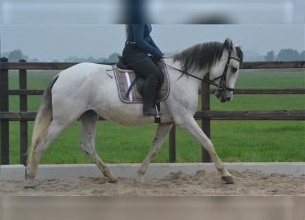 Other Breeds, Mare, 8 years, 15.2 hh, Gray