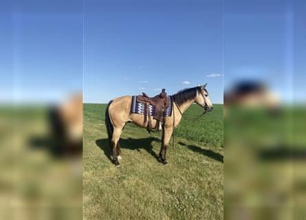 Paint Horse, Gelding, 9 years, 15 hh