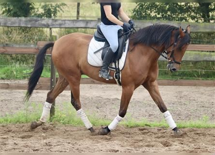 Andalusian Mix, Gelding, 4 years, 16 hh, Brown