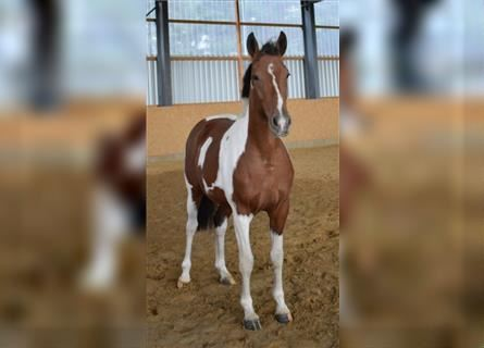 Small German riding horse, Mare, 2 years, 15.2 hh, Pinto