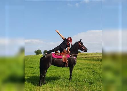 Friesian horses Mix, Mare, 10 years, 15.2 hh, Black
