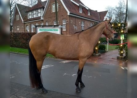 More ponies/small horses, Mare, 10 years, 14.2 hh, Dun