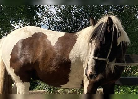 Gypsy Horse, Gelding, 3 years, 15.1 hh, Pinto