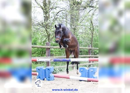 More ponies/small horses, Gelding, 3 years, 13.2 hh, Brown