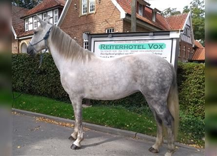 More ponies/small horses, Mare, 6 years, 14.2 hh, Gray