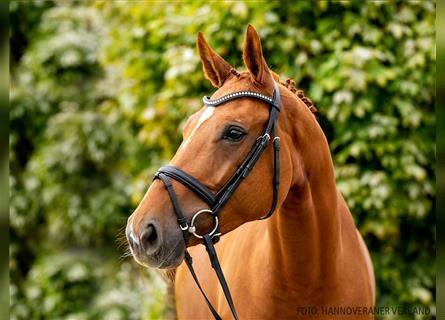 Hanoverian, Mare, 5 years, 16.2 hh, Chestnut-Red