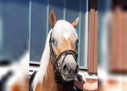 Haflinger, Mare, 3 years, 14.1 hh