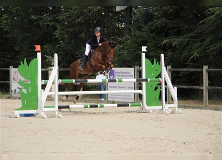 French riding pony, Mare, 10 years, 14.2 hh, Chestnut