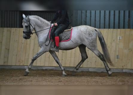 Other Breeds, Gelding, 11 years, 14.3 hh, Gray