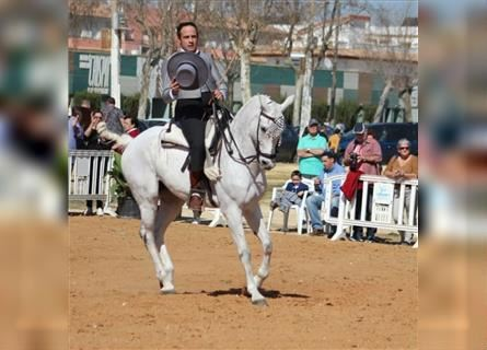 Andalusian, Gelding, 12 years, Gray
