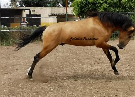 Andalusier, Hengst, 3 Jahre, 157 cm, Falbe