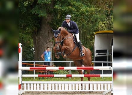 German Riding Horse, Mare, 6 years, 17 hh, Chestnut-Red