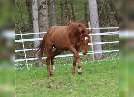 German Riding Horse, Mare, 2 years, 15.1 hh, Chestnut-Red