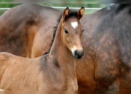 Hanoverian, Mare, Foal (05/2021), 16.2 hh, Brown