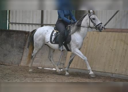Other Breeds, Mare, 11 years, 14.3 hh, Gray