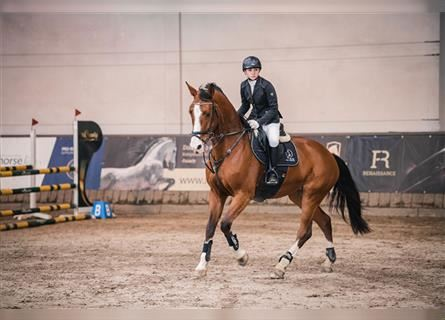 Other Warmbloods, Mare, 7 years, 16.3 hh, Brown