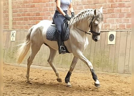 Andalusian Mix, Gelding, 8 years, 15.2 hh, Gray