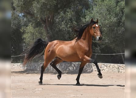 Andalusian, Gelding, 9 years, 15.1 hh, Brown
