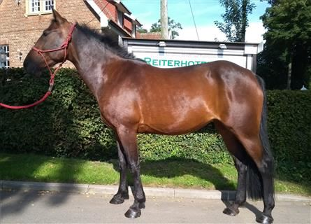 More ponies/small horses, Mare, 9 years, 14.1 hh, Brown