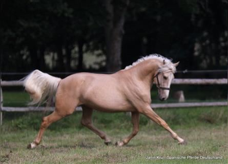 Andalusier, Hengst, 4 Jahre, 155 cm, Palomino