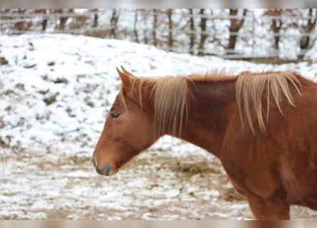 American Quarter Horse, Mare, 2 years, 14.3 hh, Chestnut-Red