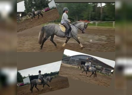 Andalusian Mix, Mare, 7 years, 14.2 hh, Gray-Dapple