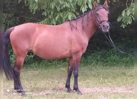 Hucul, Mare, 8 years, 14.1 hh, Brown