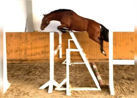 KWPN, Mare, 4 years, 16.1 hh, Bay