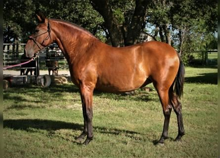 Andalusian, Mare, 6 years, 16.1 hh, Bay