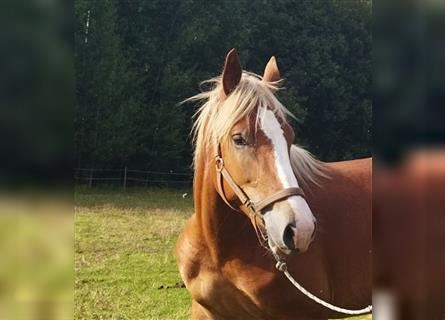 Heavy Warmblood, Mare, 2 years, 15.2 hh, Chestnut-Red