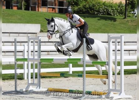 German Riding Pony, Mare, 11 years, 14.2 hh, Gray