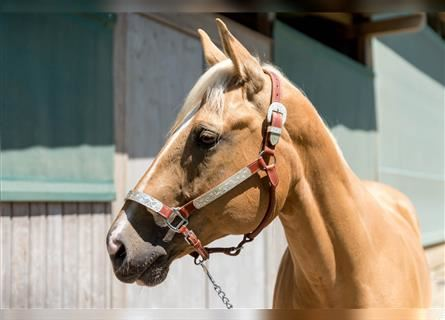 Paint Horse, Castrone, 9 Anni, Palomino