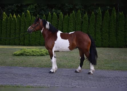Other Heavy Horses, Mare, 4 years, 16 hh, Pinto