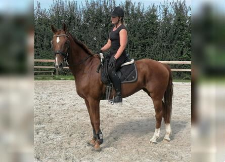 Belgian Warmblood, Mare, 14 years, 15.3 hh, Chestnut-Red